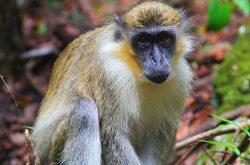 green-monkey.jpg